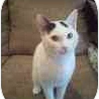 Domestic Shorthair Kitten for adoption in Kingwood, Texas - Thing1