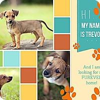 Adopt A Pet :: Trevor - Houston, TX