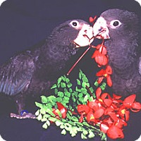 Adopt A Pet :: *Vasa Parrots* - Weatherford, TX