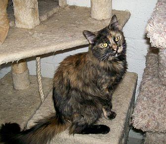 Domestic Mediumhair Kitten for adoption in Scottsdale, Arizona - Crystal