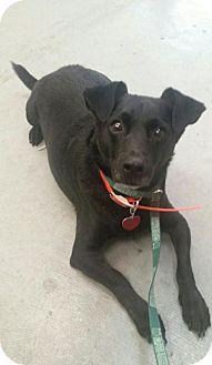 Corgi/Jack Russell Terrier Mix Dog for adoption in Orlando, Florida - Diogi