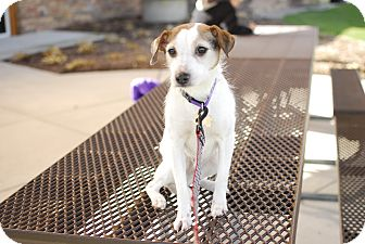 Jack Russell Terrier Mix Dog for adoption in Detroit, Michigan - Shelby - Pending!