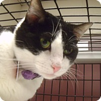 Domestic Shorthair Cat for adoption in Muscatine, Iowa - Mickey