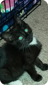 Domestic Shorthair Kitten for adoption in Greensboro, North Carolina - Tinker - On Home Trial!