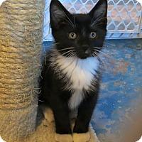Adopt A Pet :: Sinatra - Geneseo, IL