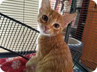Domestic Shorthair Kitten for adoption in Spring, Texas - Copeland Orange Kit 6
