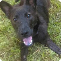 Australian Kelpie Mix Dog for adoption in Leesville, South Carolina - Henna