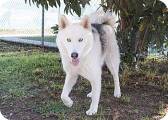 Siberian Husky Dog for adoption in Agoura, California - Ondi