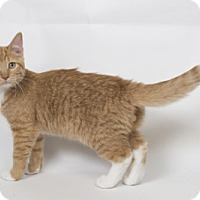 Domestic Shorthair Kitten for adoption in Lombard, Illinois - Bruce