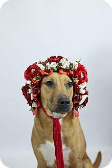 Labrador Retriever Mix Dog for adoption in Murphysboro, Illinois - Hardy