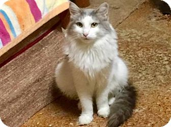 Turkish Van Cat for adoption in Sacramento, California - *IZZY