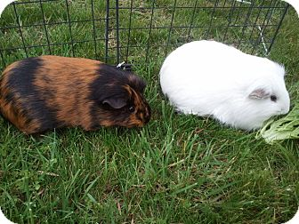 Guinea Pig for adoption in Fullerton, California - Bianca and Beatrix