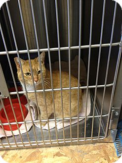 Domestic Shorthair Cat for adoption in Ogden, Utah - Ginger
