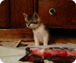 Domestic Shorthair Kitten for adoption in New York, New York - Kelvin