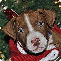 Adopt A Pet :: Stewie - Austin, TX