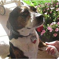 Adopt A Pet :: Cinnamon - Phoenix, AZ