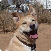 Australian Cattle Dog Mix Dog for adoption in Las Cruces, New Mexico - Tas