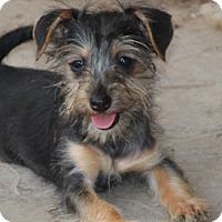 Adopt A Pet :: Carolina - Norwalk, CT