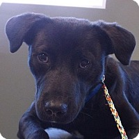 Adopt A Pet :: Kringle - Boston, MA