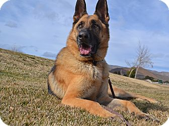 German Shepherd Dog Dog for adoption in Altadena, California - Scooby