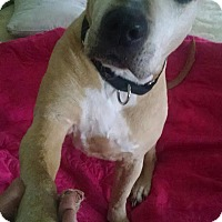 American Pit Bull Terrier Dog for adoption in Cherry Valley, New York - Mimi