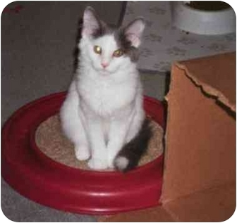 Domestic Mediumhair Kitten for adoption in cincinnati, Ohio - Bouncing Benny