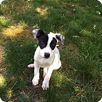 Adopt A Pet :: Kash - Barnegat, NJ