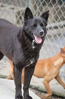 Schipperke Mix Dog for adoption in Cranston, Rhode Island - Little Bear