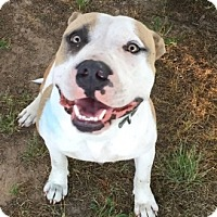 Pit Bull Terrier Mix Dog for adoption in Denton, Texas - Sherman