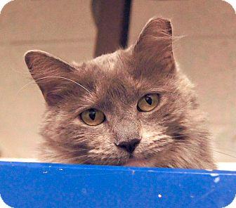 Domestic Mediumhair Cat for adoption in Colorado Springs, Colorado - Nora