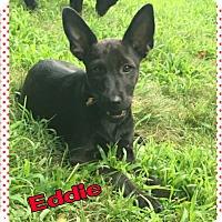 Adopt A Pet :: Eddie - bridgeport, CT