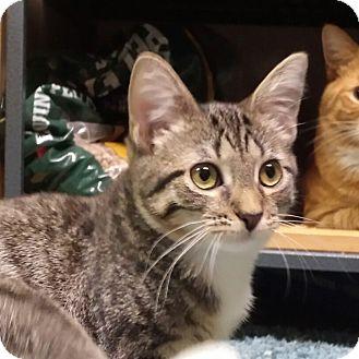 Domestic Shorthair Kitten for adoption in Jeannette, Pennsylvania - Ava