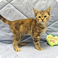 Domestic Shorthair Kitten for adoption in Lexington, North Carolina - Nova