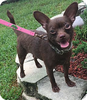 Chihuahua Mix Dog for adoption in Boca Raton, Florida - Kolo