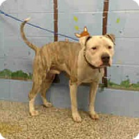 Pit Bull Terrier Dog for adoption in San Bernardino, California - URGENT ON 10/20 San Bernardino