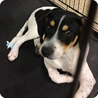 Treeing Walker Coonhound/Retriever (Unknown Type) Mix Puppy for adoption in Warrenton, Missouri - Capri