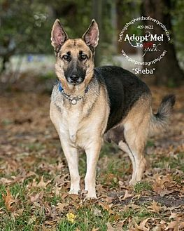 German Shepherd Dog Dog for adoption in Montgomery, Alabama - Sheba
