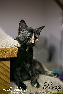 Domestic Shorthair Kitten for adoption in Columbia, Tennessee - Roxy