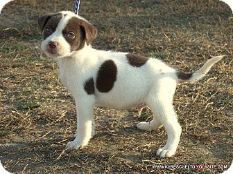 Australian Shepherd/Labrador Retriever Mix Puppy for adoption in PRINCETON, Kentucky - ELLIOT/ADOPTED