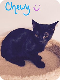 Domestic Shorthair Kitten for adoption in Jackson, New Jersey - Chewy