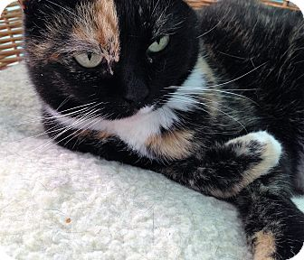 Domestic Shorthair Cat for adoption in Fairfax, Virginia - Peaches
