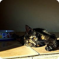 Adopt A Pet :: Tortellini - Fairmont, WV