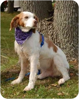 Brittany Dog for adoption in Buffalo, New York - Clancy