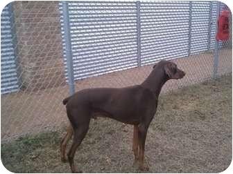 Doberman Pinscher Dog for adoption in Fairfield, Texas - REX  (referral0