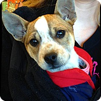 Adopt A Pet :: Dotty - Johnson City, TX