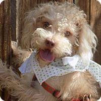 Adopt A Pet :: Yogi- ADOPTED 6/12/16 w/ Buddha! - Apple Valley, CA