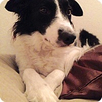Adopt A Pet :: HATTIE (Courtesy List) - San Pedro, CA