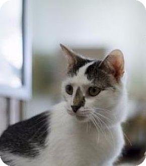 Domestic Shorthair Cat for adoption in Columbus, Ohio - Leah
