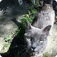 Russian Blue Cat for adoption in Covington, Kentucky - Gracie