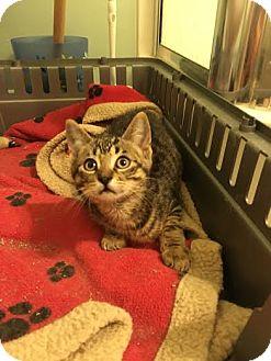 Domestic Shorthair Kitten for adoption in Woodstock, Ontario - Slider